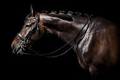 A brown Holstein horse with bridle against black background in studio