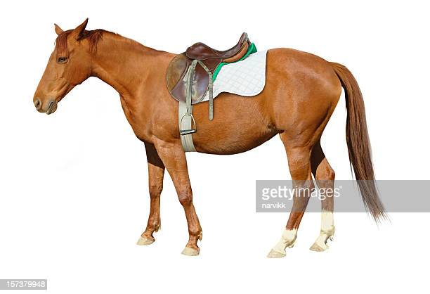 Brown Horse with Saddle