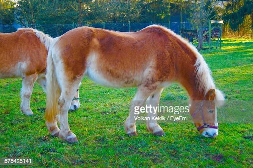 Brown Horses Grazing On Grassy Field Against Trees