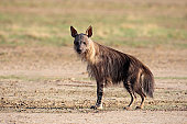 Brown hyena (Hyaena brunnea), Kalahari desert, South Africa