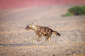 Brown hyena running in the desert in Namibia.