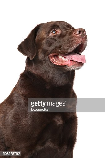Labrador marrone : Foto stock