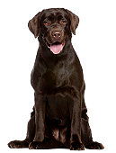Brown Labrador retriever puppy with tongue lolling