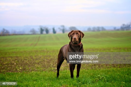 Brown Labrador standing in a Field : Stock Photo