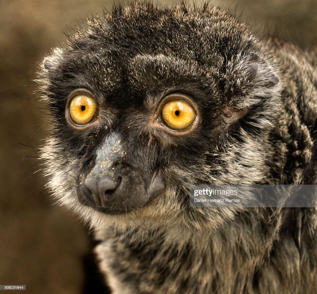 brown lemur