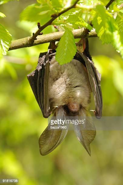 Brown long-eared Bat hanging.