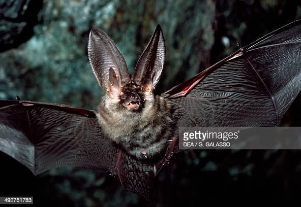 Brown Longeared Bat Vespertilionidae