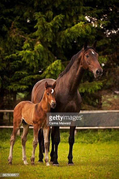 Brown mare and foal, 3 weeks Westphalia, Munsterland, North Rhine-Westphalia, Germany