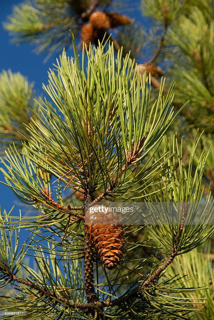 Brown on Green Pine Pinecone - Piña  en Pino Verde : Stock Photo