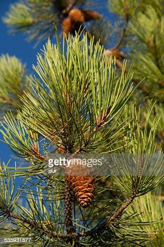 Brown on Green Pine Pinecone - Pi?a  en Pino Verde : Stock Photo