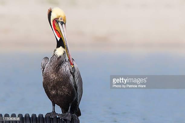 Brown Pelican Breeding Plumage