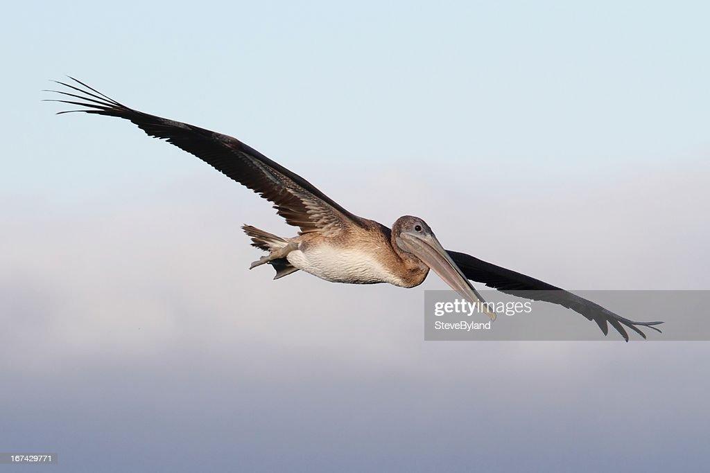 Pelícano pardo de vuelo : Foto de stock