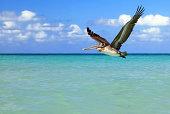 Brown Pelican in flight, Varadero, Cuba