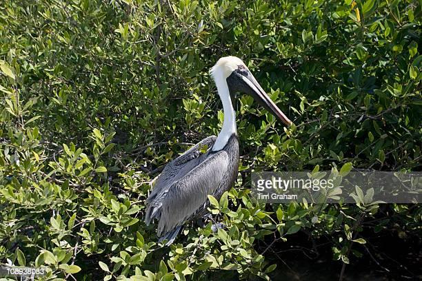 Brown Pelican in tree branches Islamorada Florida Keys USA