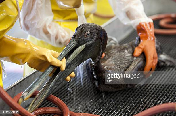 A brown pelican is washed at the International Bird Rescue Research Center in Fort Jackson Louisian May 26 to clean birds affected by oil leaked from...