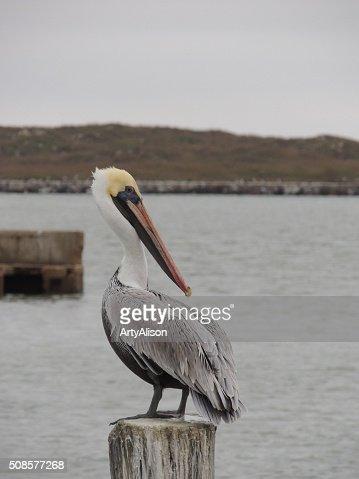 Brown Pelican looking back over it's shoulder : Stock Photo
