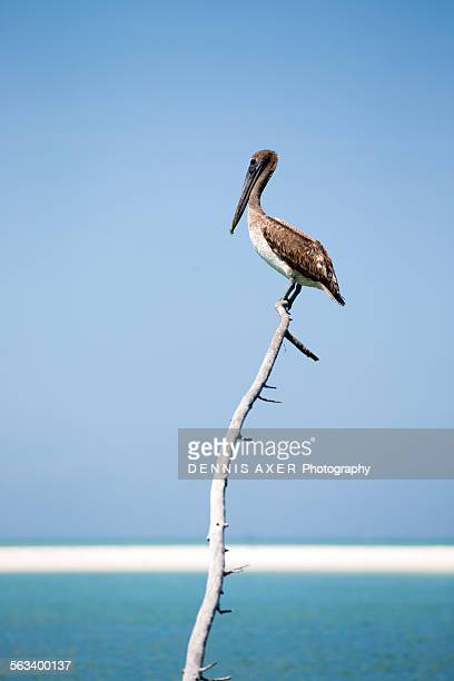 Brown pelican on a branch