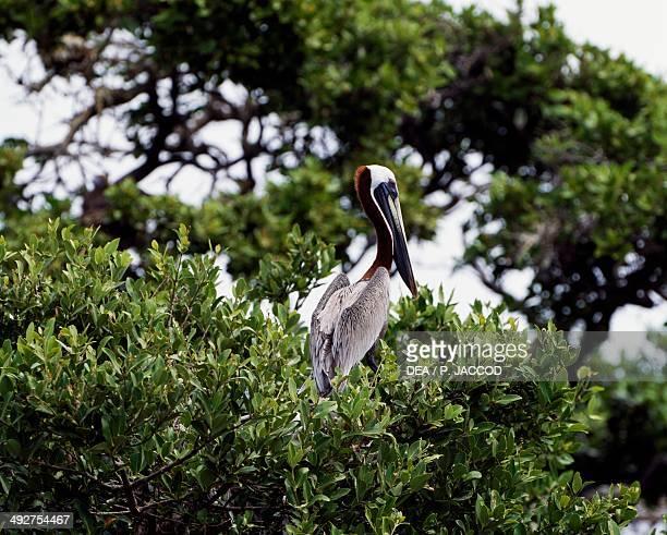 Brown pelican Pelecanidae Cayo Canqui Los Roques National Park Venezuela