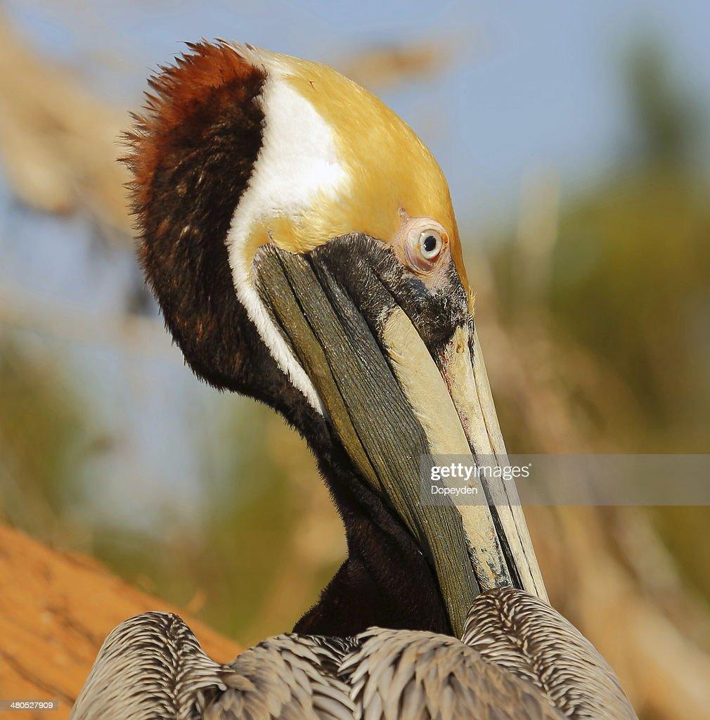 Pellicano bruno : Foto stock