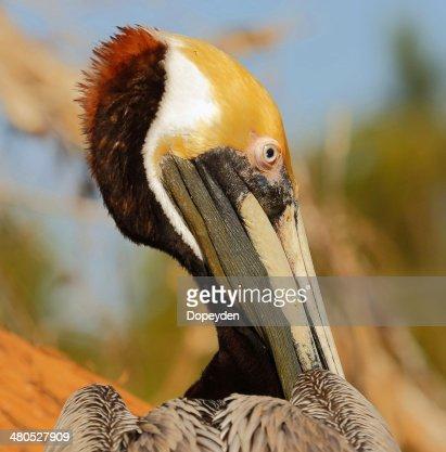 Brown Pelican : Bildbanksbilder