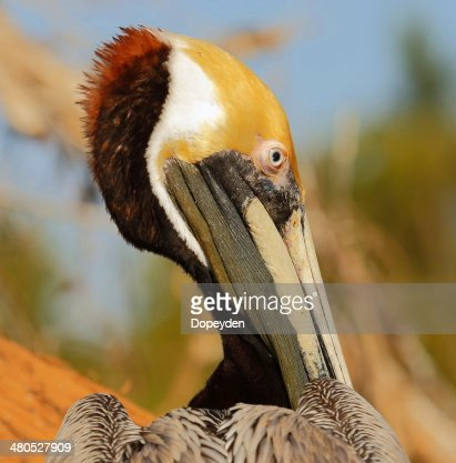 Brown Pelican : Stockfoto