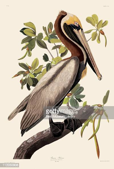 Brown Pelican Plate 251 in John James Audubon's Birds of America late 1830s