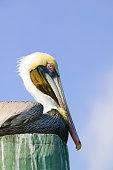 Brown pelican (Pelecanus occidentalis) sitting on post, side view
