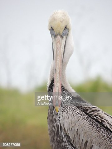 Brown Pelican staring at the camera : Stock Photo