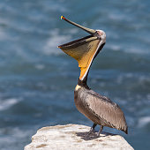 Brown Pelican (Pelecanus occidentalis) stretching its pouch open - San Diego, California