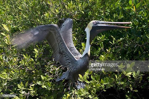 Brown Pelican takes flight from tree branches Islamorada Florida Keys USA
