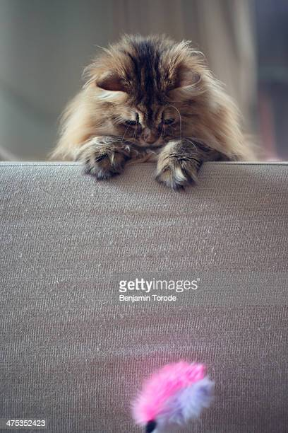 Brown persian cat playing with pink toy