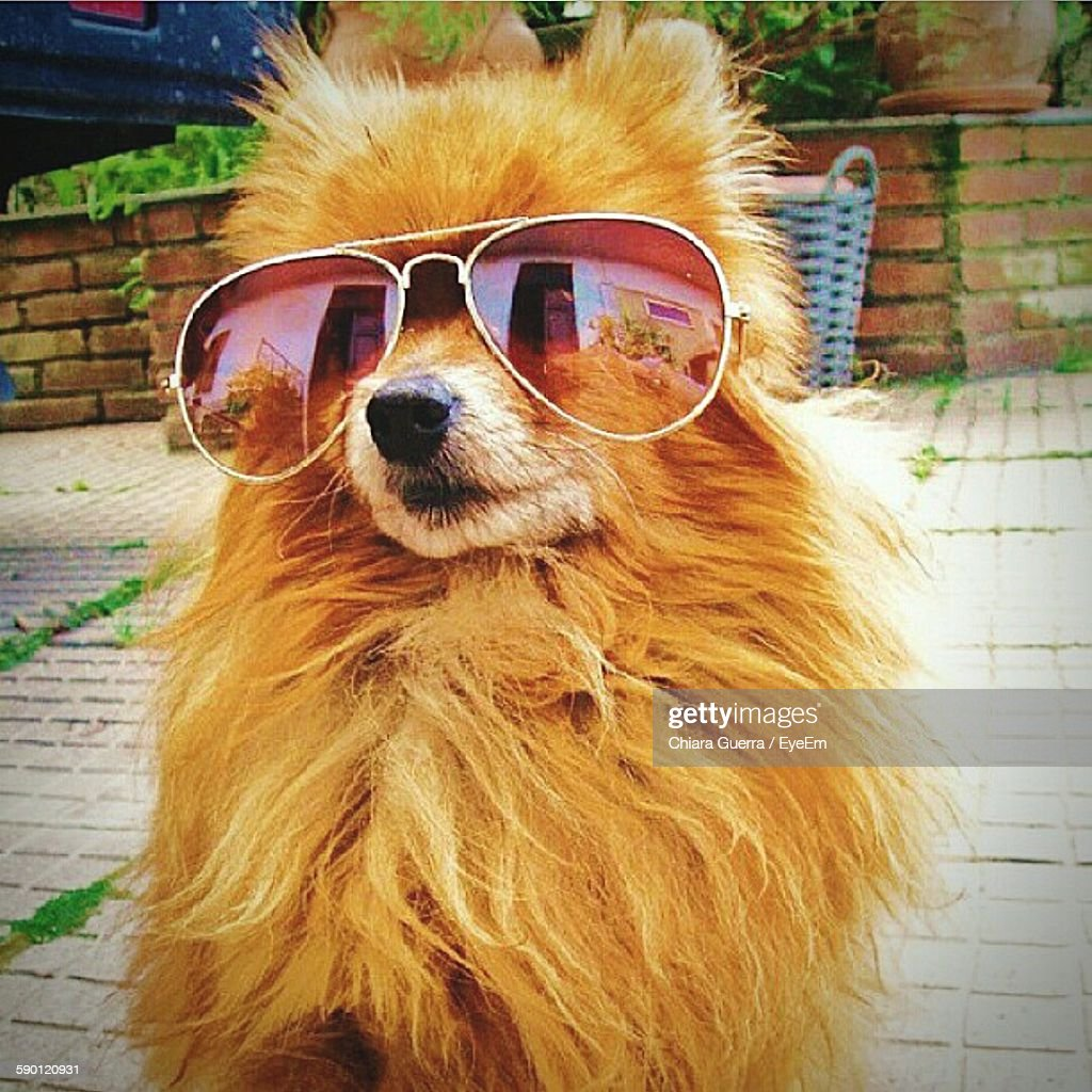 Brown Pomeranian Wearing Sunglasses On Street