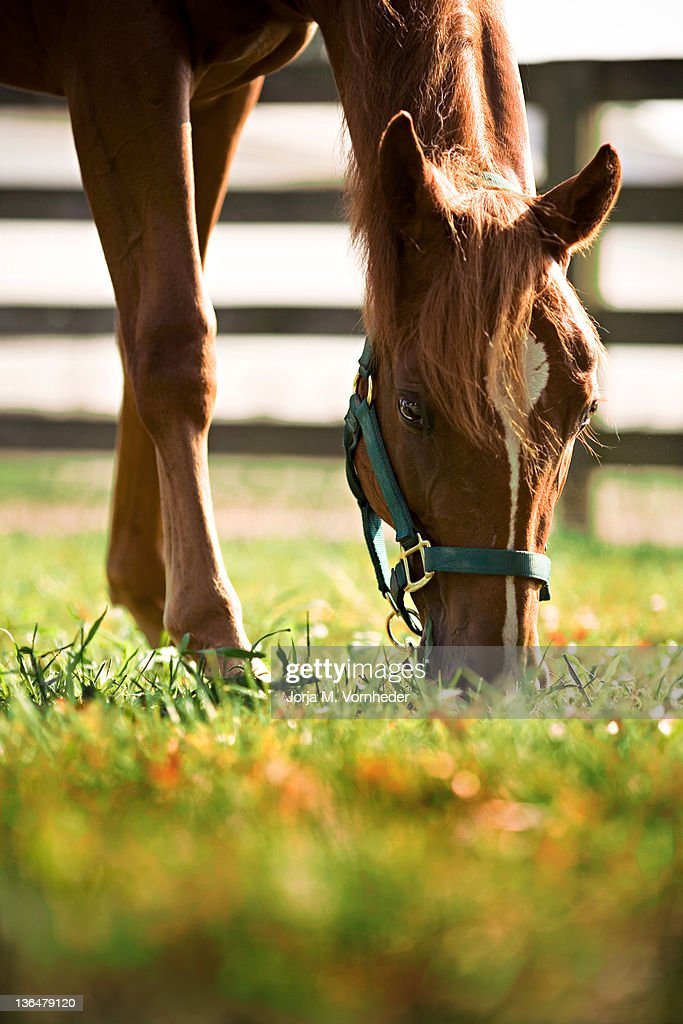 Brown Quarter horse : Stock Photo