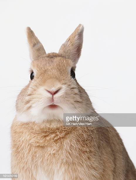 Brown rabbit, close-up
