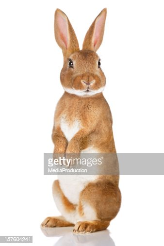 Brown rabbit standing up