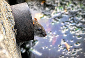 Like a rat up a drainpipe is a common phrase. This brown rat / Norway rat / Rattus norvegicus is actually in an overflow pipe for the Three Kings pond in Mitcham, Surrey, England.