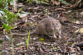 Common rodent foraging amongst plants in botanic garden, with impressive whiskers