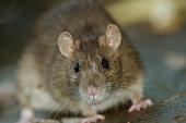 Close up of big Brown Rat standing still on concrete floor.