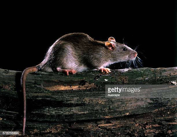 Brown rat Rattus norvegicus humanityÍs worst animal pest causing enormous damage not only in consumption of food but to service pipes and cables They...