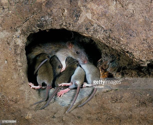 Brown rat Rattus norvegicus suckling young in cutaway nest Occurs worldwide
