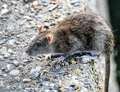 Chunks of bread attract vermin such as brown rats, Norway rats, Rattus norvegicus, to Three Kings Pond at Mitcham in Surrey. This brown rat is trailing its long tail over the side of a concrete wall s