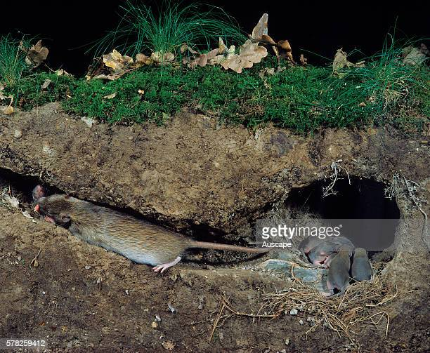 Brown rat Rattus norvegicus with young in cutaway nest showing surface above Found worldwide Photo France