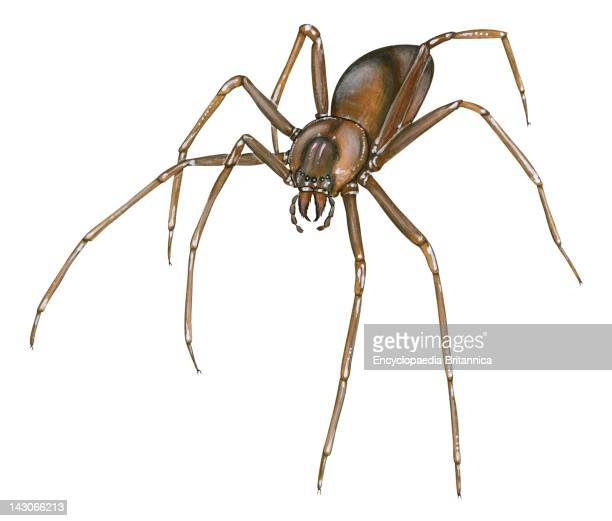 Brown Recluse Brown Recluse