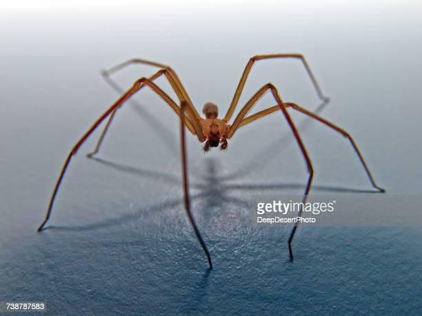 Brown recluse spider, Arizona, America, USA