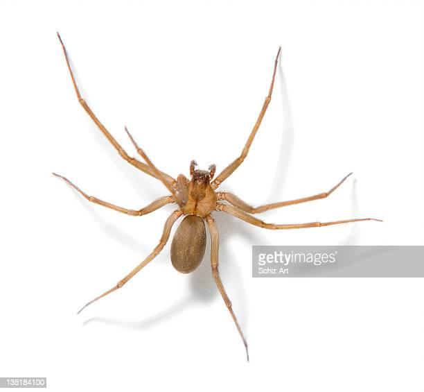 Araña reclusa marrón
