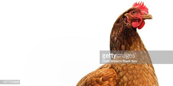 Brown Shaver Free Range Hen