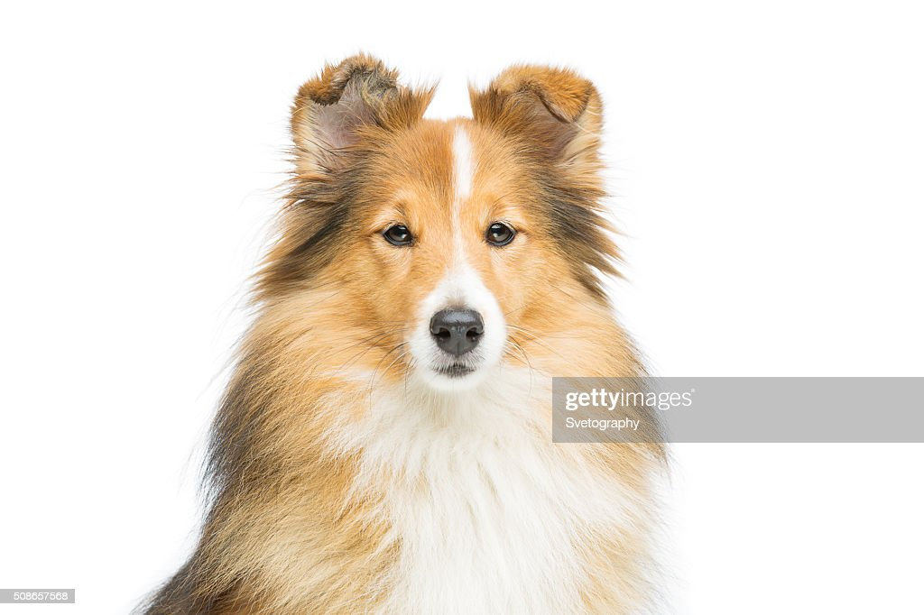 Brown sheltie dog : Stock Photo
