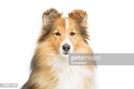 Brown sheltie dog : Stock Photo