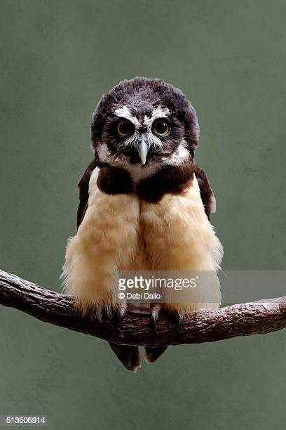 Brown Spectacled Owl Portrait