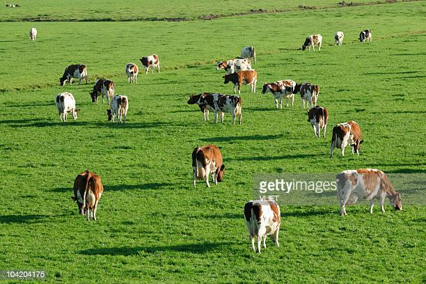 Brown spotted cows grazing in a meadow